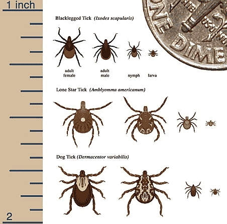 Different types and sizes of ticks