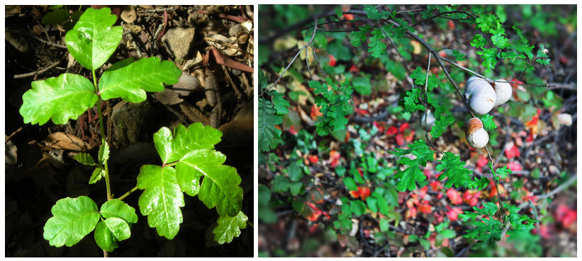 Poison Oak leaves tend to be glossy, and the plant grows upright. May have yellow-white berries.