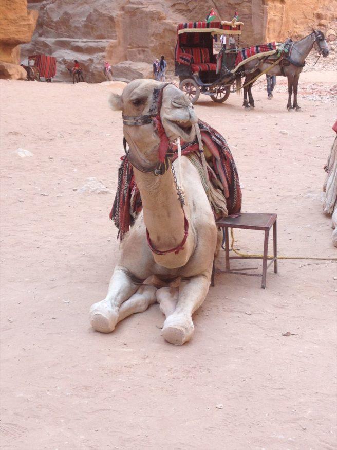 Camel resting at Petra