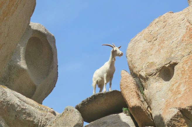 A local goat checks out the geocaching action.
